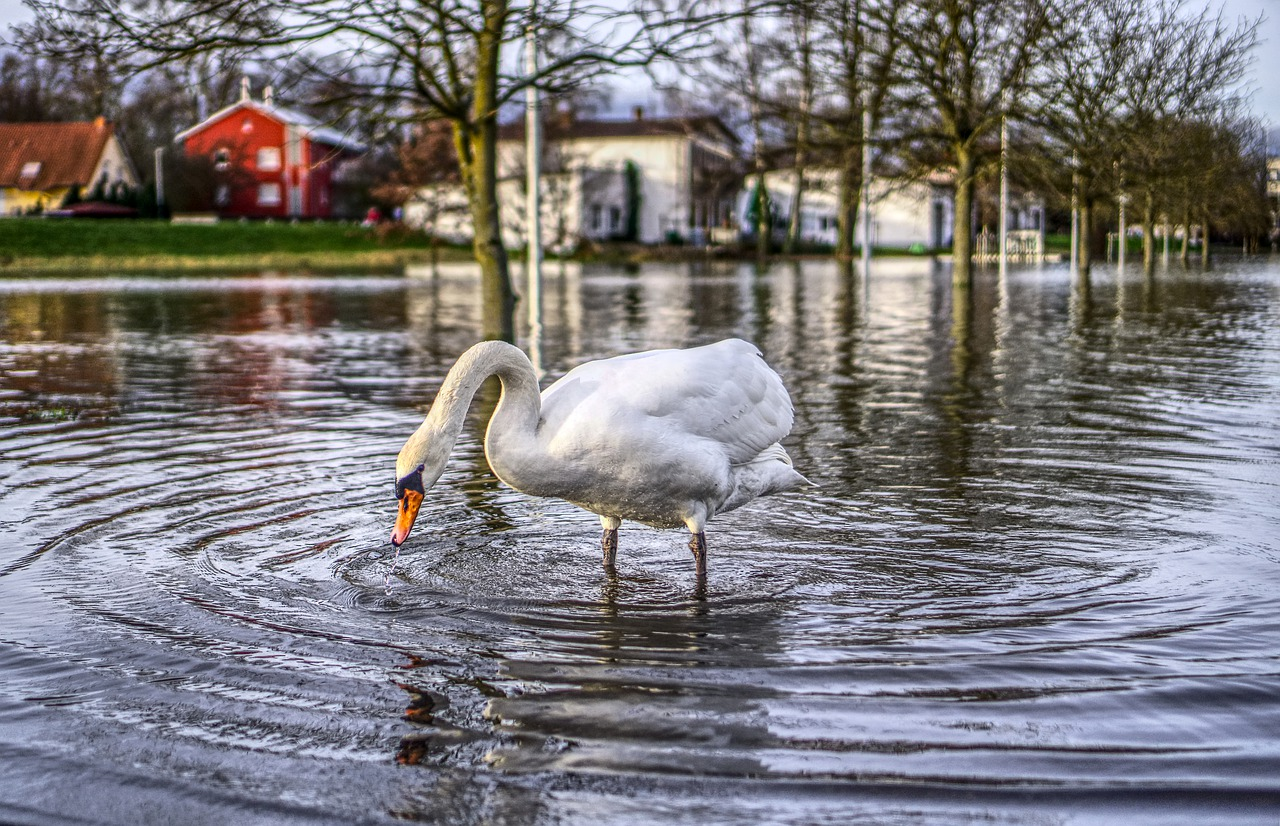 goose in a flood street